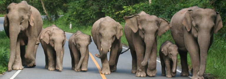 Elephants on the Road in Khao Yai National Park: Photo courtesy of www.khaoyainaturelifetours.com