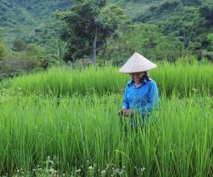 Rice farmer, Vietnam