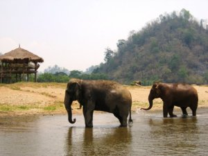 Elephants chilling in the river at Elephant Nature Park