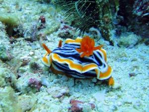 TTA-MalapascuaPyjama-Chromodoris-Nudibranch