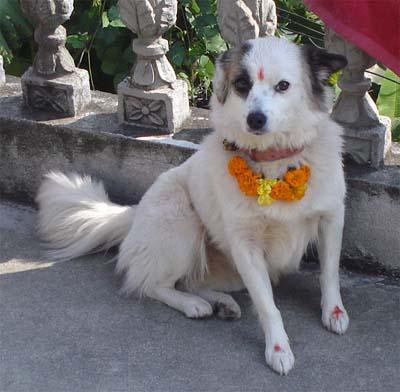 Talk Travel Asia: Episode 61 Interesting Asian Holidays: Tahir Dog in Nepal: Photo by Scott Coates