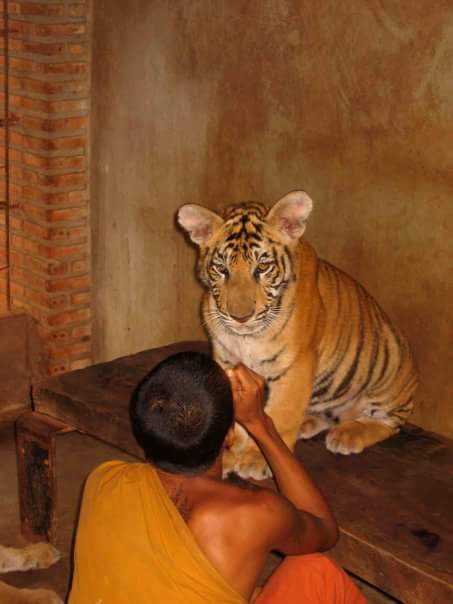 Tiger Temple Thailand: Talk Travel Asia podcast episode 66: Animal Experiences in Asia