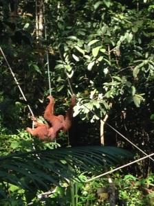Orangutan-Kuching