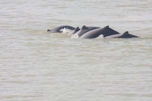 Irrawaddy dolphins in Myanmar with Living Irrawaddy Dolphin Project on Talk Travel Asia Podcast